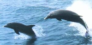 PODS OF DOLPHINS ARE A COMMON SITE AT POLZEATH WHICH IS A MARINE WILDLIFE CONSERVATION AREA