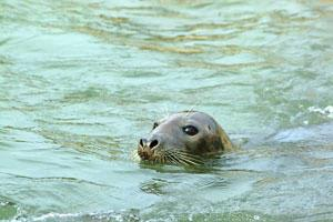 SEALS ARE A COMMON SITE ROUND THE NORTH CORNISH COAST